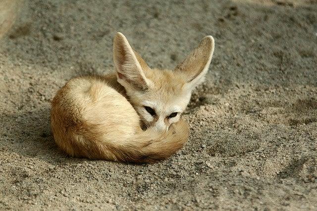 african desert fox