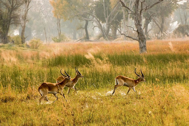 impala kenya