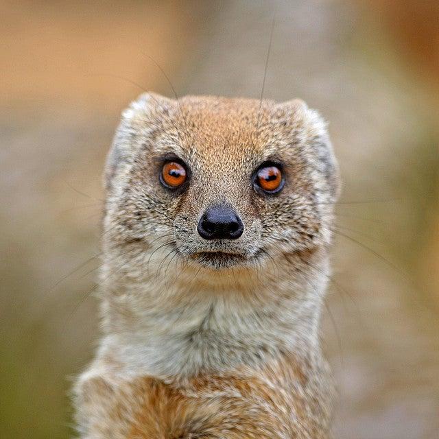African Yellow Mongoose