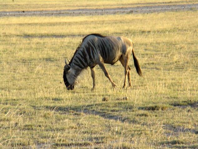 Wildebeest African animal