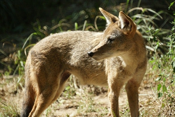 nyc coyote