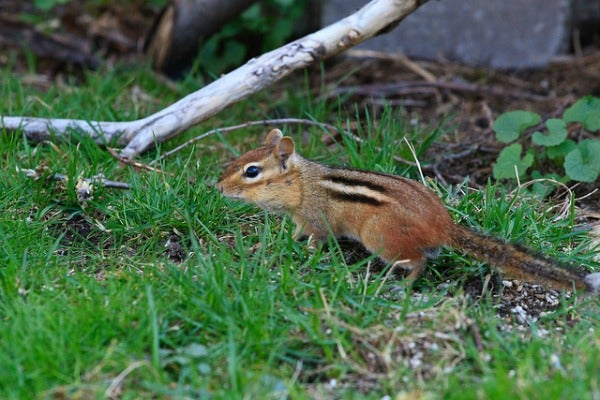 nyc eastern chipmunk