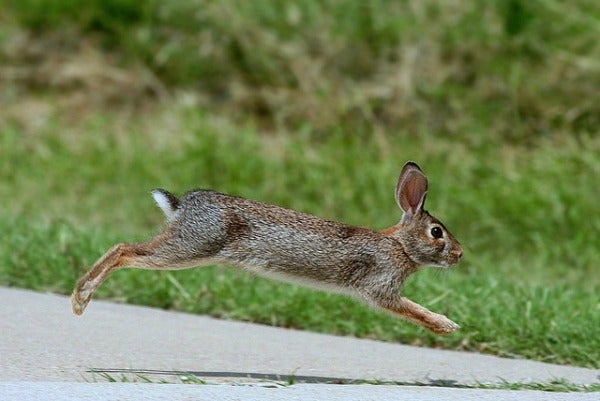 nyc eastern cottontail