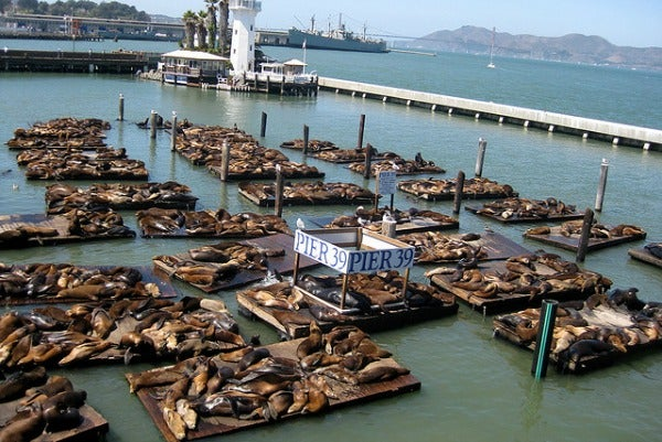 sea lions pier 39 fishermans wharf