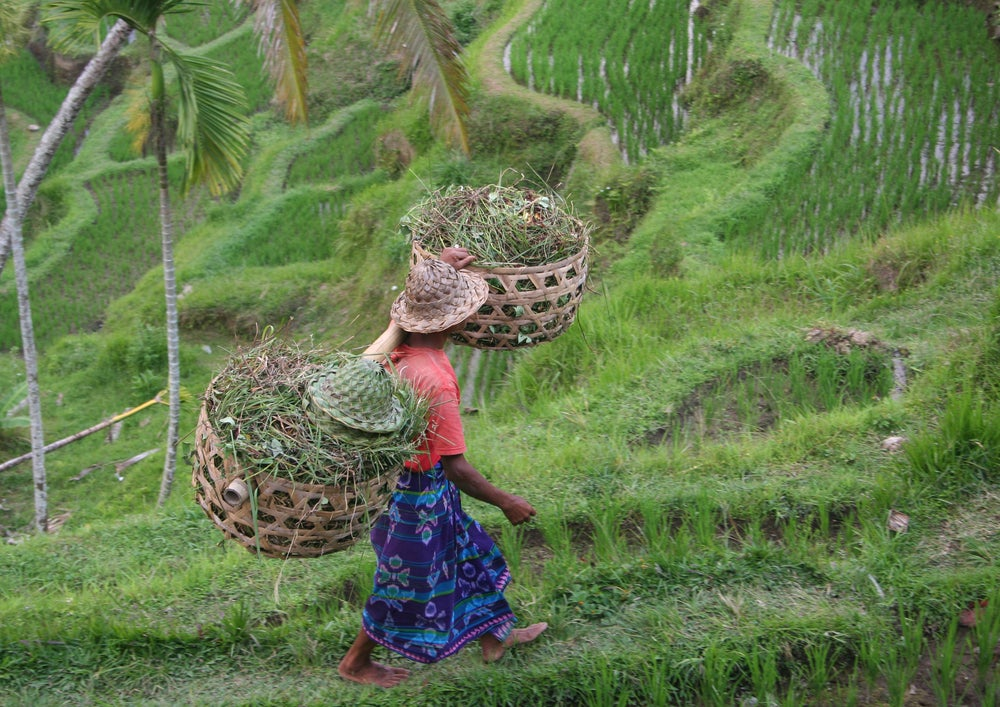 Bali rice cultivation