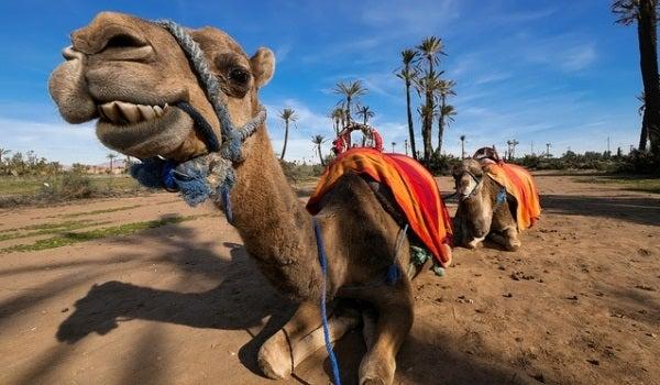 Passeios em camelo