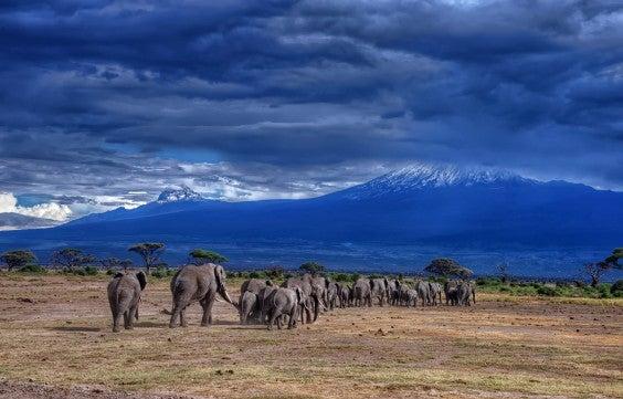 Elephants at the foot of Kilimanjaro