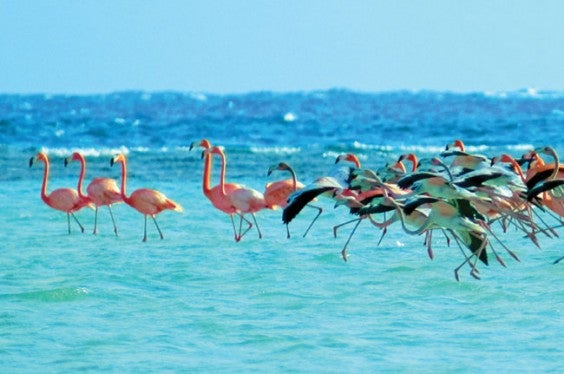 West-Indian-Flamingoes-of-Inagua-Bahamas