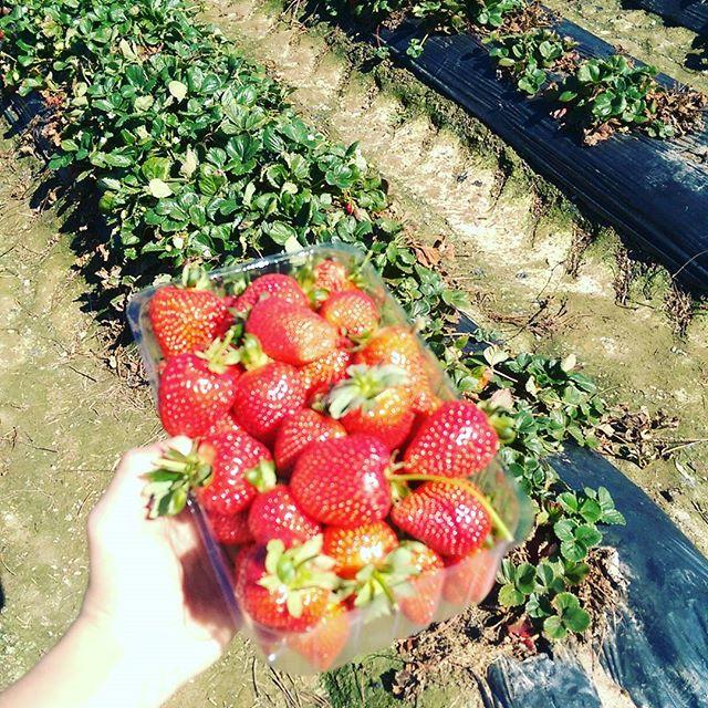 fresas en adelaida