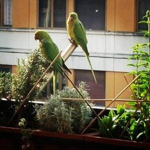loros verdes en roma