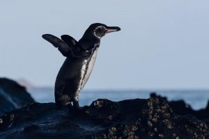 a galapagos penguin standing on some rocks