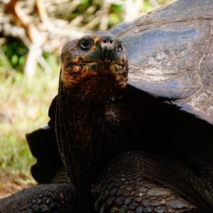 a closeup of a giant galapagos island tortoise