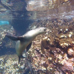 a seal swimming in the galapagos islands