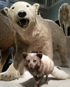 a wolf an a polar bear stuffed at the national museum of scotland edinburgh