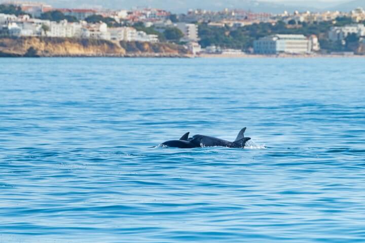 dolphis albufeira algarve