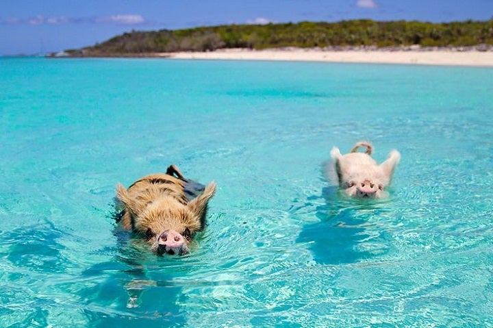 Pig Beach in Exuma, Bahamas