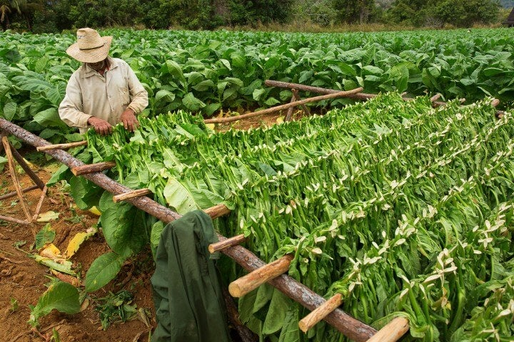 tobacco farms at vinales in cuba