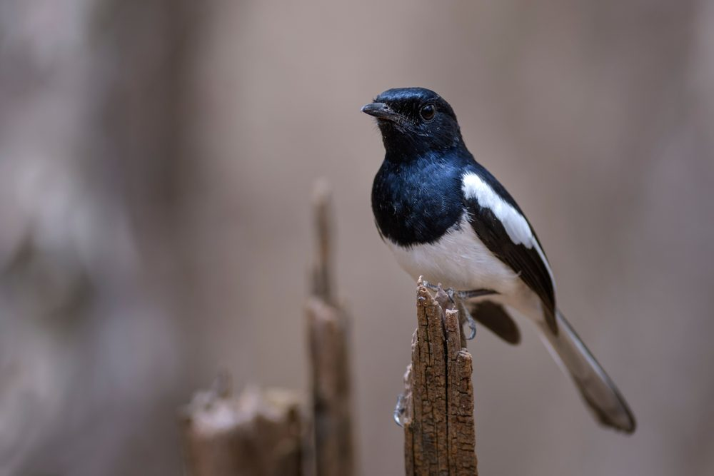 Magpie in Africa