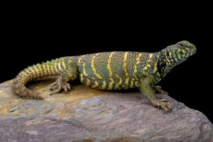 Uromastyx African lizard