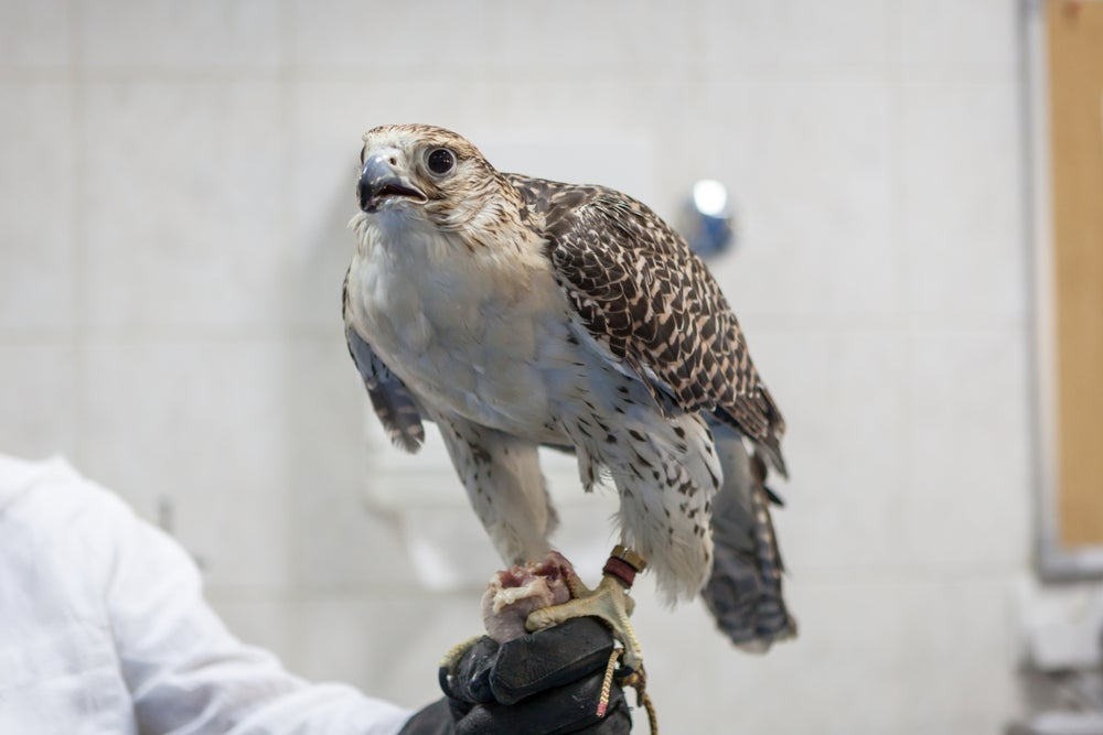 Falcon at Abu Dhabi's Falcon Hospital, the leading avian hospital in the world.